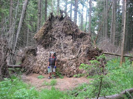 Стіна ґрунту, піднята поверженим бурею деревом-велетом