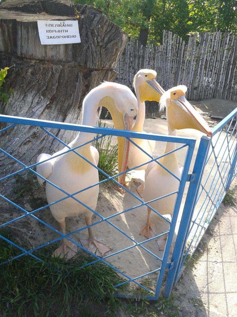 У Мені я вперше побачив живих пеліканів