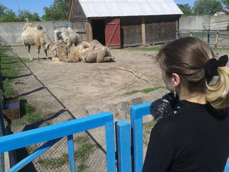 Верблюди приймають сонячні ванни