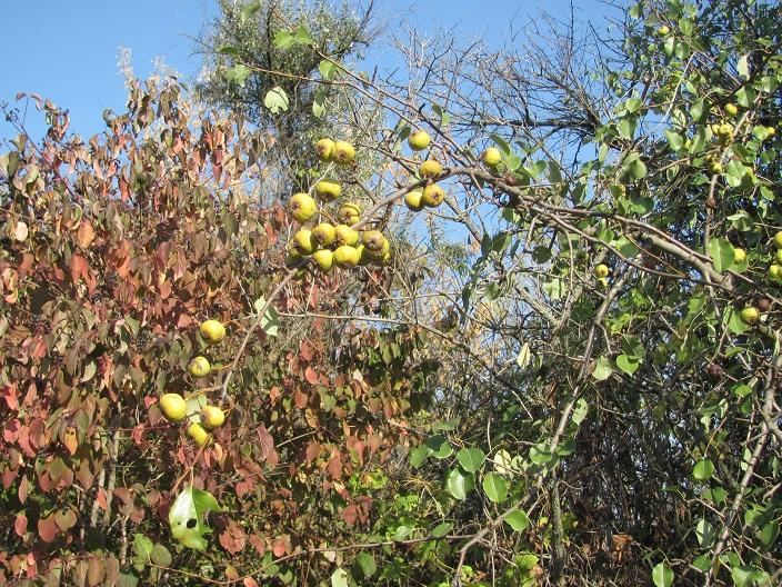 51 Pears