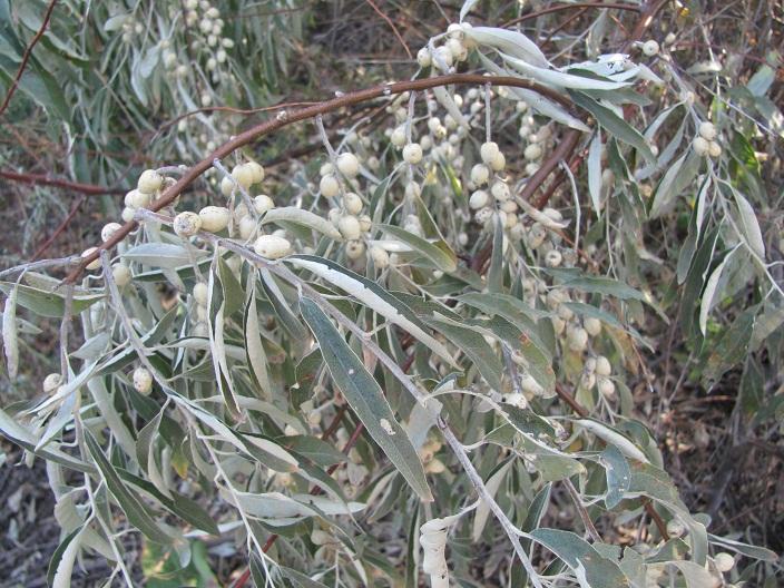 54 Olive