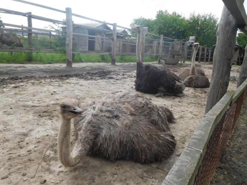 17 ostriches.jpg